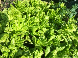 Here's the lettuce glut. Good news for us - it gives us some ultra-local organic produce in our boxes!