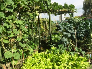 And here's what we'll be eating! The lettuce bed framed by the squash creepers and brussel sprouts (to the right)