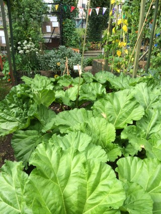 And lots of rhubarb for added variety to our fruit supplement...