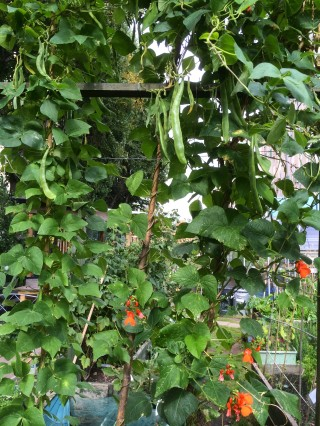 Runner beans with their pretty red flowers
