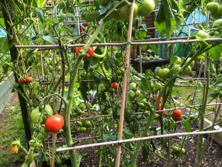 Tomatoes not all ripening at the same time unlike those tasteless uniformly red ones in supermarkets!!!