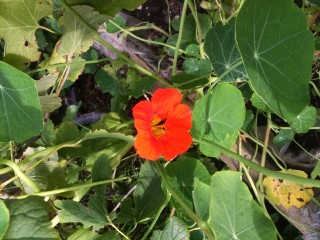 The little plot also practices companion planting such as growing nasturtiums next to crops to ward off pests