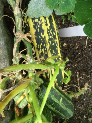 And another few squashes...