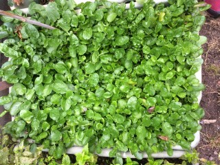 ...which will go well with the land cress