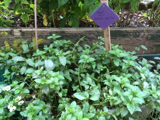 And lots of herb growing, like this chocolate mint variety