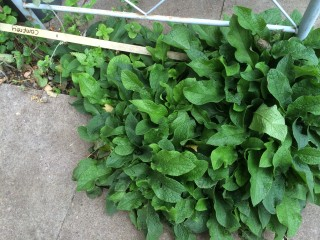 Comfrey weed growing between the pavement to be made into comfrey juice for more organic fertiliser